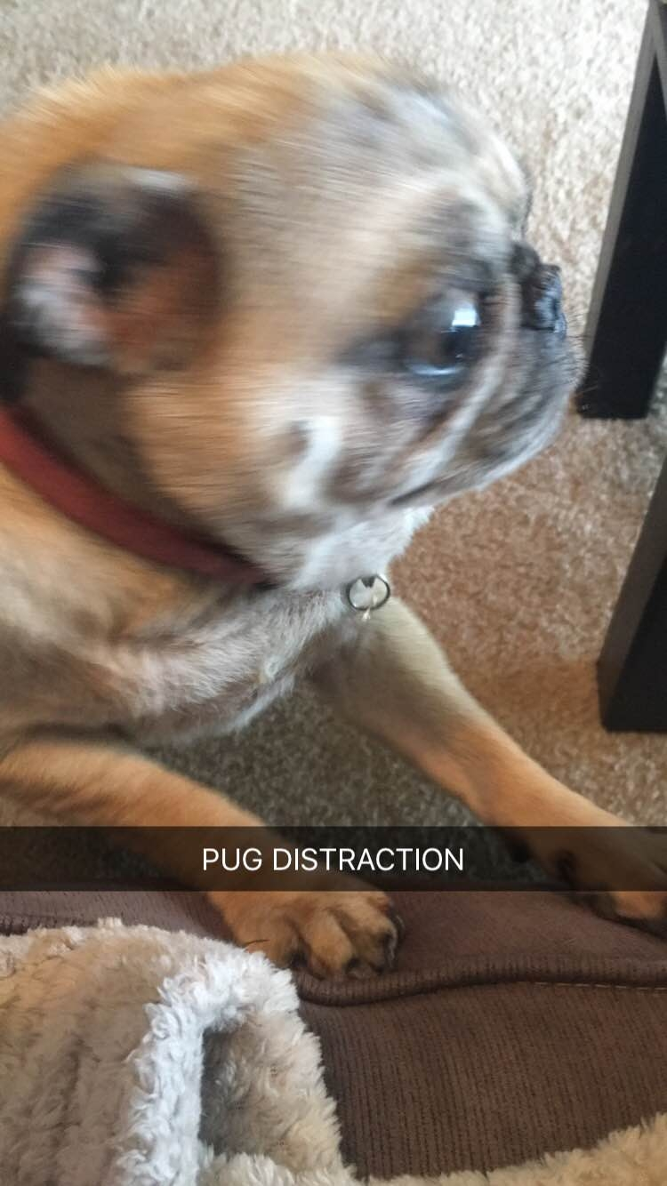Pug Distraction